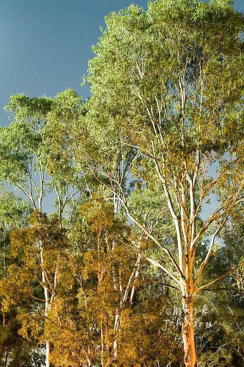 Eucaplyptus trees at night, Queensland, Australia