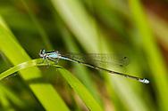 Stream Bluet (Enallagma exsulans) - female<br /> United States: Louisiana: Rapides Parish<br /> Brown Creek @ Brown Creek Rd.<br /> Evangeline Unit of Kistatchie National Forest<br /> 31-Mar-2017<br /> J.C. Abbott #2915