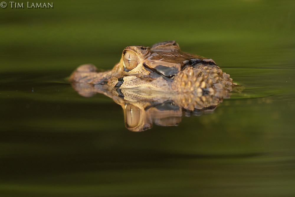 caiman in Anangu lagoon, Yasuni National Park, Orellana Province, Ecuador
