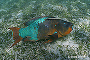 rainbow parrotfish, Scarus guacamaia, terminal phase male with sharksucker, slender suckerfish, or remora, Echeneis naucrates in bed of turtle grass ( seagrass ), Thalassia testudinum, Hol Chan Marine Reserve, Ambergris Caye, Belize, Central America ( Caribbean Sea )