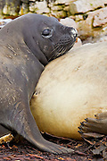 A young female southern elephant seal keeps close to mother