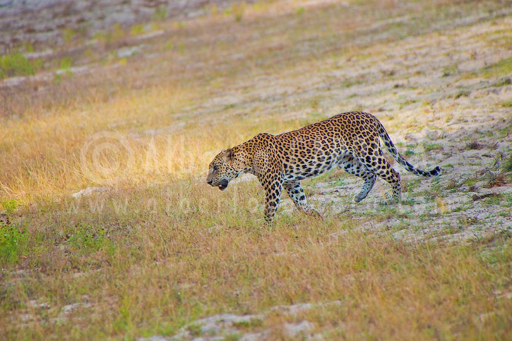 Alberto Carrera, Sri Lankan Leopard, Kotiya, Chiruththai, Pantera pardus kotiya, Wilpattu National Park, Sri Lanka, Asia