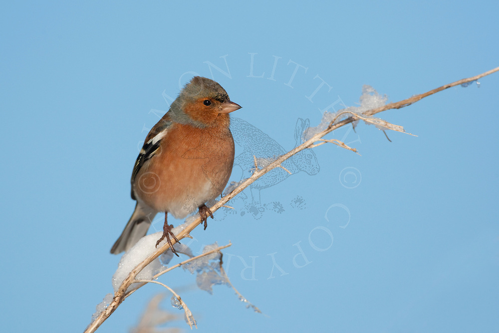 Chaffinch (Fringilla coelebs) adult male on snow covered perch, winter, UK