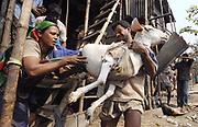 Evocation Drive : JAN. 27, 2007 – A man try to scape to his pregnant goat for the safety places during the evocation drive in the area of Kamrangirchar, Dhaka, Bangladesh.Bangladesh Inland Water Transport Authorities, BIWTA conducted an eviction drive at Kamrangirchar near Buriganga River, following am high Court order to free illegal structure. © Monirul Alam