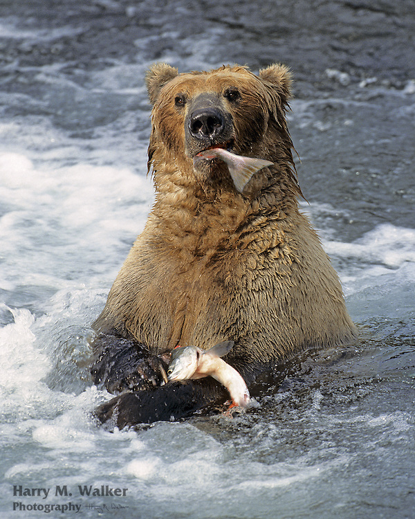 Grizzly bear (Ursus arctos) with chum salmon at McNeil River Falls in McNeil River State Game Sanctuary Alaska