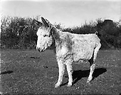 1958 Nine donkeys for Blue Cross