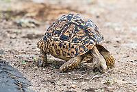 Leopard Tortoise Feeding on short grass, Satara, Kruger National Park, Limpopo, South Africa,