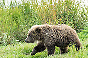 A Brown Bear cub walks along a spit of land along the lower Brooks River in Katmai National Park and Preserve September 16, 2019 near King Salmon, Alaska. The park spans the worlds largest salmon run with nearly 62 million salmon migrating through the streams which feeds some of the largest bears in the world.