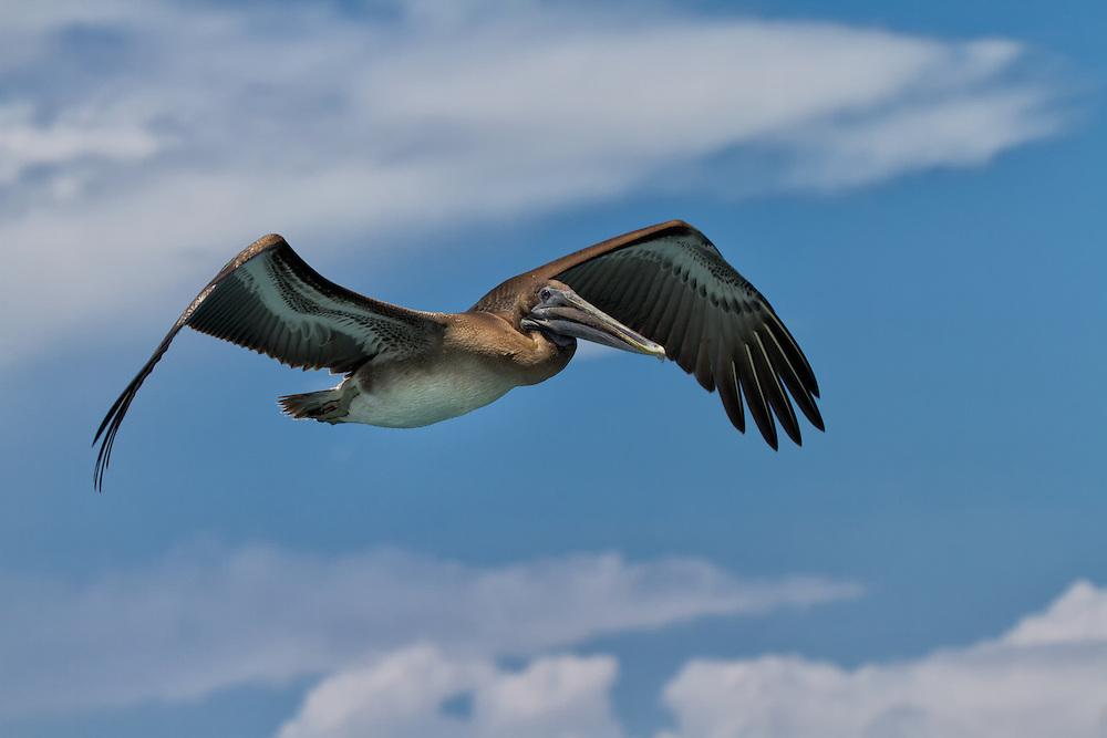 Pelican (disambiguation) in flight, Galápagos Islands, Ecuador, South America