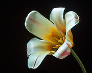 Photograph of a Peacock Tulip on Black