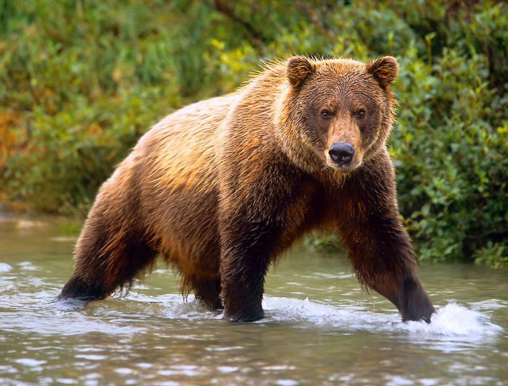 USA, Alaska, McNeil River Sanctuary, Grizzly bear (Ursus arctos)