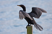 Black Shag, Otago Peninsula, New Zealand