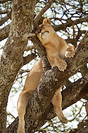 A young lion sleeps in a tree in the Serengeti National Park. The park is a UNESCO World Heritage Site in Tanzania. http://www.gettyimages.com/detail/photo/sleeping-lion-tanzania-high-res-stock-photography/96621906