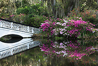 Flowering azalea color the banks at Magnolia Plantation and Gardens in the Lowcountry of South Carolina.