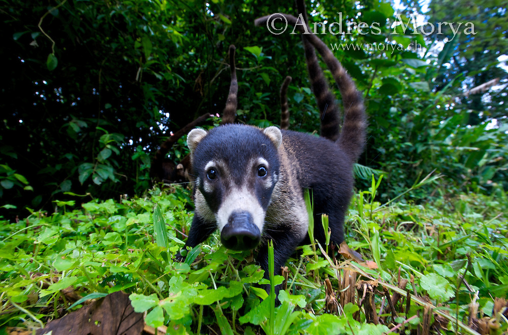 White-nosed coati (Nasua narica), Costa Rica. Is a species of coati and a member of the family Procyonidae (raccoons). They are omnivores, preferring small vertebrates, fruits, carrion, insects, and eggs. They can climb trees easily, where the tail is used for balance, but they are most often on the ground foraging. Their predators include boas, raptors, hunting cats, and Tayras (Eira barbara). Image by Andres Morya
