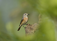 Common Redstart - Phoenicurus phoenicurus -<br /> female