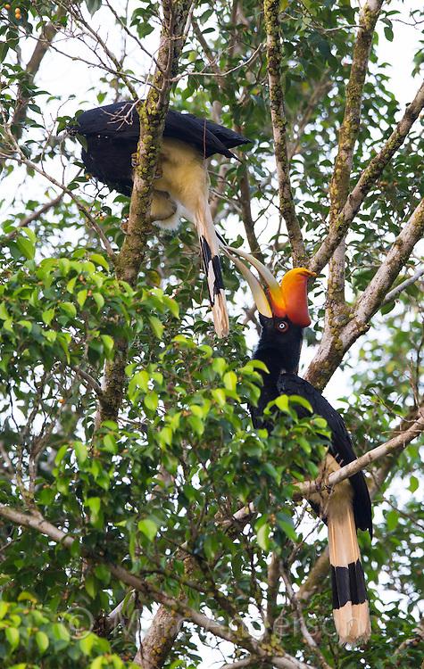 Rhinoceros Hornbill (Buceros rhinoceros) mutual feeding in a rainforest tree, Taman Negara National Park,  Malaysia