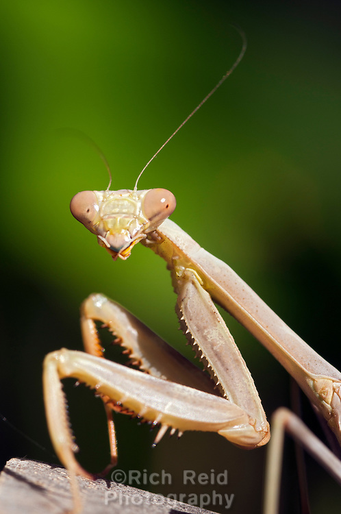Female California Mantis, Stagmomantis californica in Oak View, California.