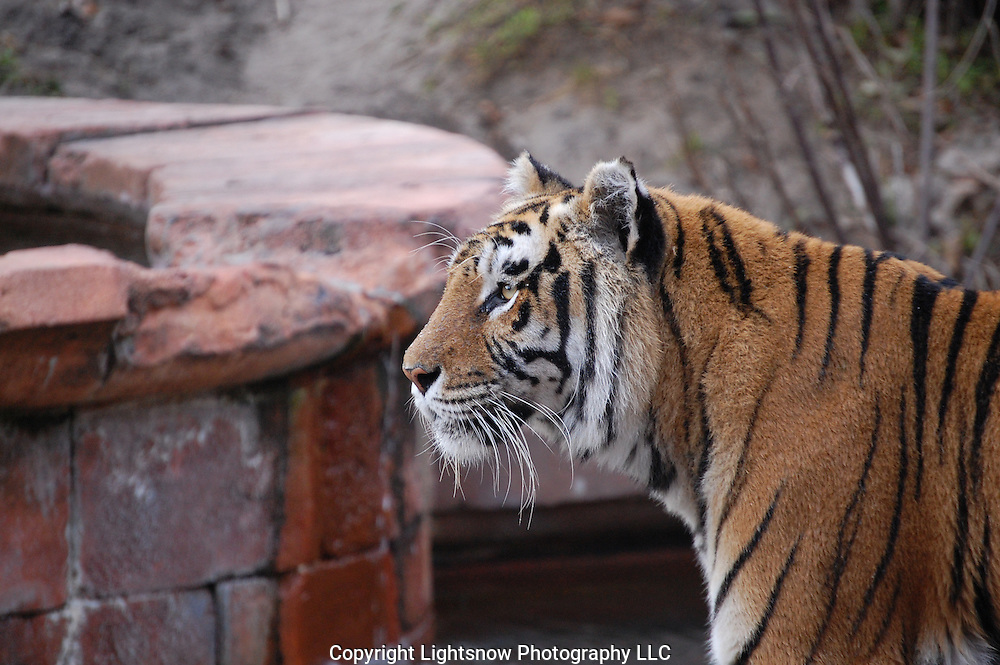 This is a photograph of a watchful Asian Tiger.