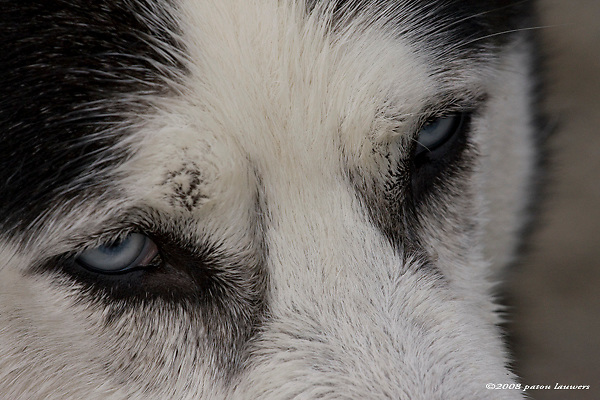 Close up of blue eyed husky