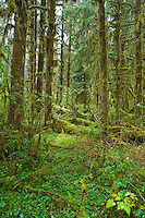 Hoh rainforest in Olympic National Park, Washington State