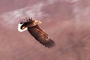 JAPAN, Eastern Hokkaido.Pan blur of a white-tailed sea eagle (Haliaeetus albicilla) in flight