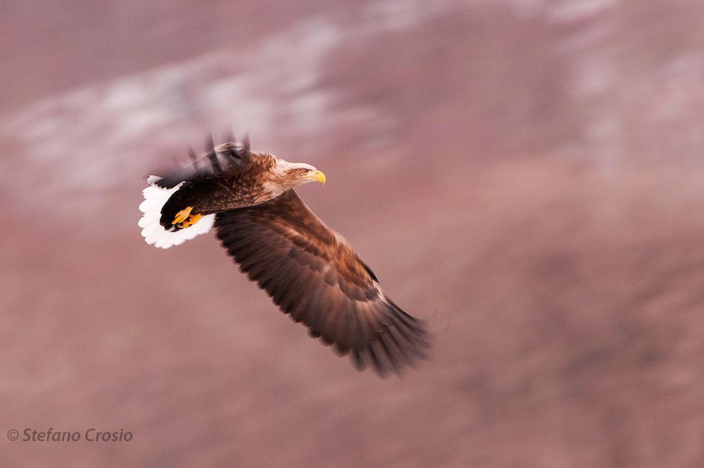 JAPAN, Eastern Hokkaido.Pan blur of a white-tailed sea eagle (Haliaeetus albicilla) in flight