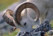 Dall Sheep, Sheep, Dall Ram, Ram, flock, Denali National Park, Alaska