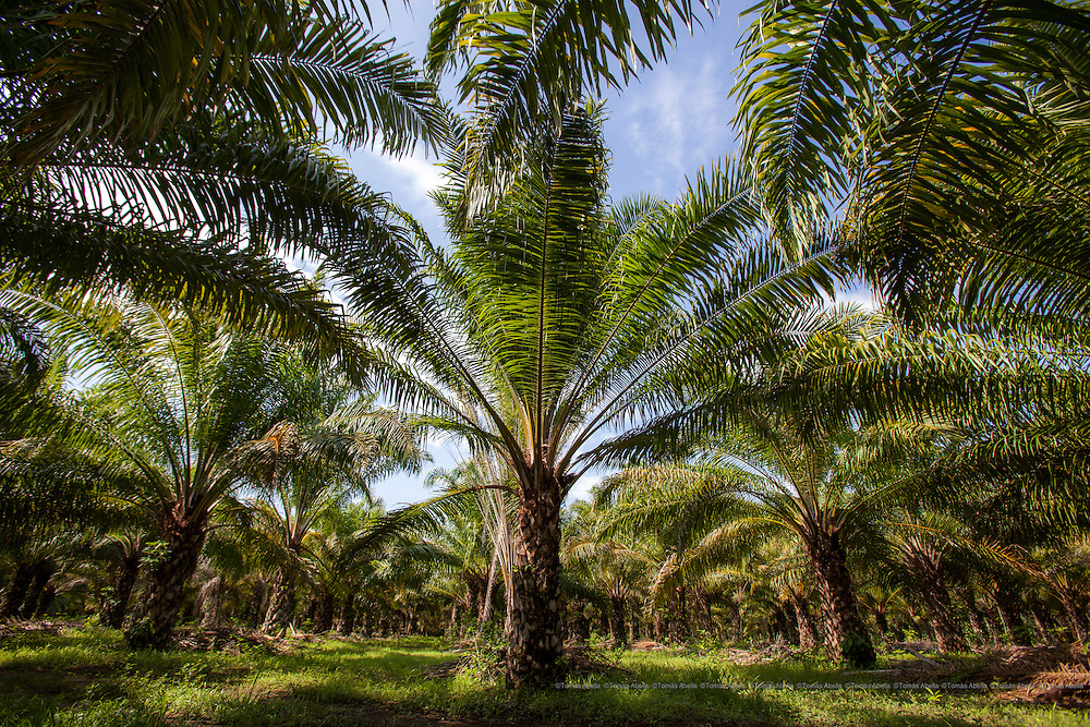 African palm oil plantations are on the increase in Chiapas. In 1993 they accounted for 2,500 hectares, in 2013 more than 60,000, whilst potential planting could reach more than 900,000 hectares of palm oil for the whole state.