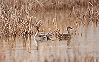 A Northern Pintail duck pair rests in a northern Utah marsh at the end of March nesting season has started.