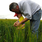 Farmer Enda Doran shows the quality of the this year's wheat production to his three year old son, in one of his farming land in Ballinasloe, Co. Galway..Mr. Doran is the eldest of 3 brothers and sisters and by tradition the heritor of the family farming land and business. His farming activities involve cereal and potato production, cattle and sheep breathing and contract work for other farmers.