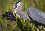 March 23, 2014 - Boynton Beach, Florida, U.S. - <br /> <br /> Heron caught its lunch!<br /> <br /> A blue heron caught its lunch in a pond at Valencia Reserve development in Boynton Beach, Florida on March 11, 2014. The use of a small aperture blurs the background to make the subject standout from the foliage. The fish on the end of the bird's beak allowed me to sneak up a little closer to the subject than usual. <br /> ©Exclusivepix