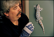 "Gloved to ward off the possibility of a nasty bite, Berkeley biologist Robert J. Full prepares to pluck a gecko from his office door. A source of inspiration to roboticists around the world, Full's Poly-PEDAL laboratory is one of the premier research centers in the field of animal locomotion. (Polypedal means ""many-footed""; PEDAL is an acronym for the Performance, Energetics, and Dynamics of Animal Locomotion.) UC Berkeley (California) From the book Robo sapiens: Evolution of a New Species, page 91."