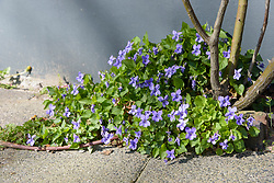 Bleeksporig bosviooltje, Viola riviniana