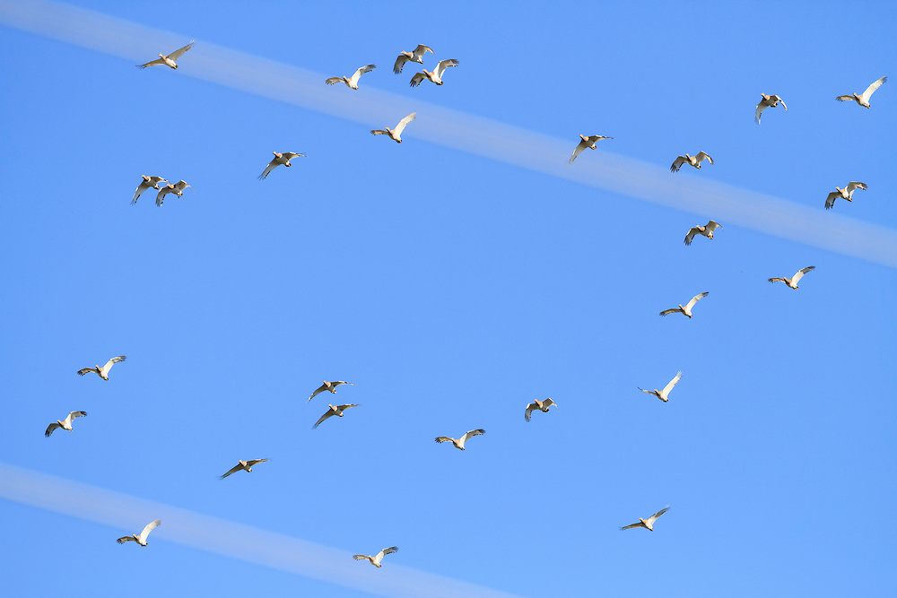 Winter flock of Little Bustard (Tetrax tetrax)  flying close to power lines. Lleida province. Catalonia. Spain.