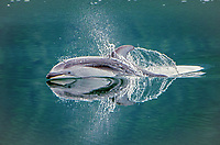 Pacific white-sided dolphins bow riding the National Geographic Sea Bird in Johnstone Strait in British Columbia, Canada.