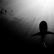 Grey Reef shark in black and white. Image made in Papua New Guinea