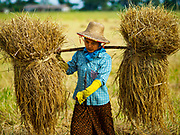 "21 NOVEMBER 2017 - MAUBIN, AYEYARWADY REGION, MYANMAR: Workers carry freshly harvested rice to the edge of the paddy in the Ayeyarwady  Delta. Myanmar is the world's sixth largest rice producer and more than half of Myanmar's arable land is used for rice cultivation. The Ayeyarwady Delta is the most important rice growing region and is sometimes called ""Myanmar's Granary."" The UN Food and Agriculture Organization (FAO) is predicting that the 2017 harvest will increase over 2016 and that exports will surge to 1.8 million tonnes.   PHOTO BY JACK KURTZ"