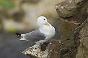 EN.- Kittiwake (Rissa tridactyla) perched on a cliff preening its feathers.  Seahouses, England, UK.<br /> <br /> ES.- Gaviota trid&aacute;ctila (Rissa tridactyla) posada en acantilado acical&aacute;ndose el plumaje.  Seahouses, Inglaterra, Reino Unido.