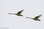 Tundra Swan pairs fly together between feeding and roosting areas.