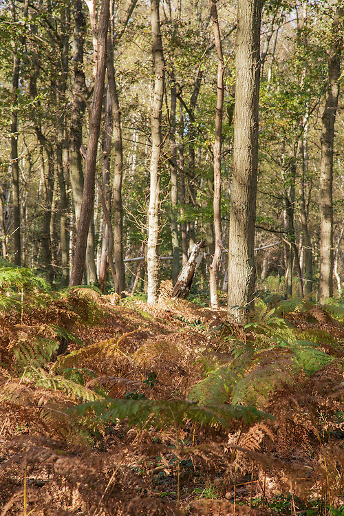 Woodland on Wimbledon Common in London. The image was taken early in the morning with a Canon 5d MkIII camera