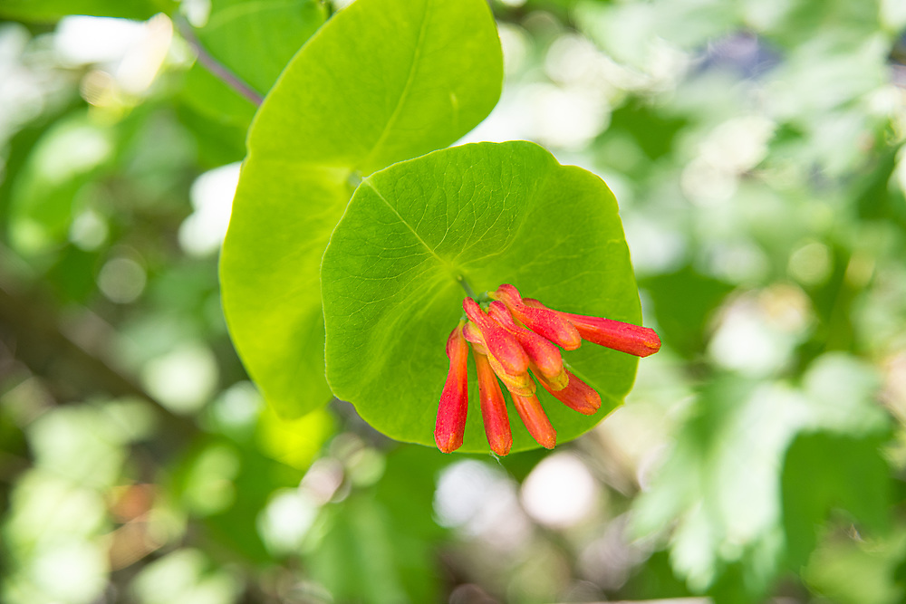 A close-up view of the interesting fused leaves that form a disk around the honeysuckles flowers (or buds in this case). This native vine is found all over much of the western United States, including British Columbia in several types of coastal to lower-elevation mountain habitats. This particular one was found growing in wild profusion in the Okanogan-Wenatchee National Forest on the eastern side of Washington State's Cascade Mountains.