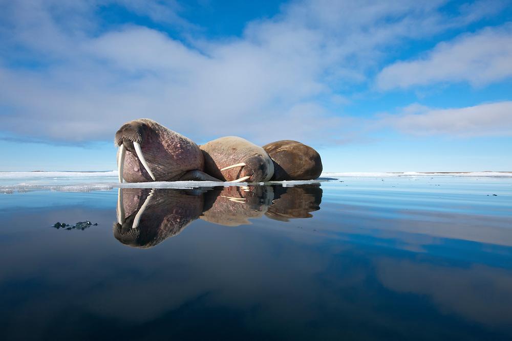 Norway, Svalbard, Nordaustlandet, Walrus (Odobenus rosmarus) resting at edge of ice floe on summer afternoon