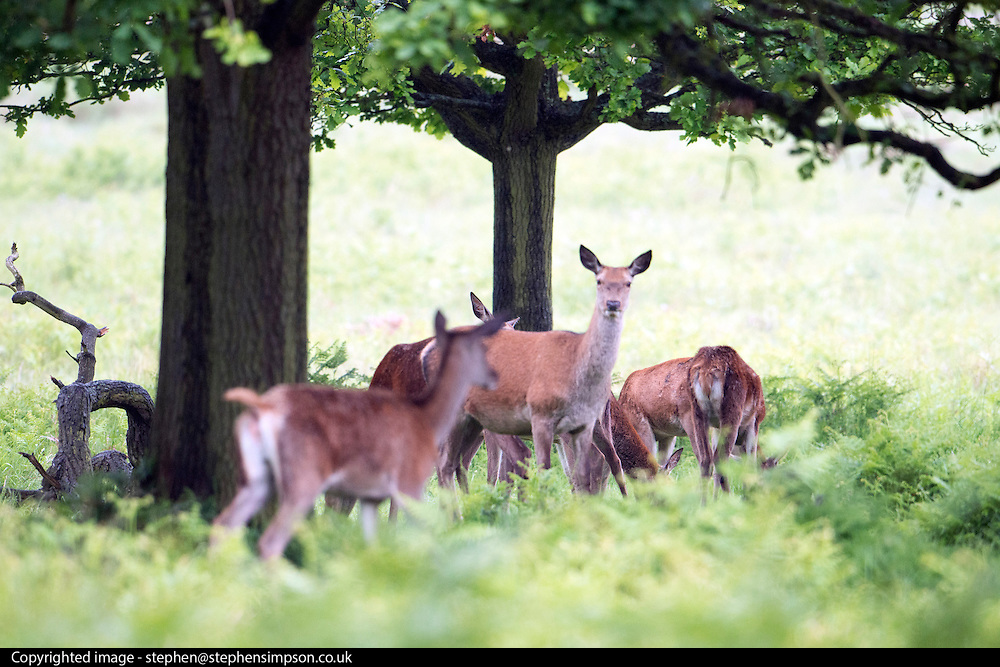© Licensed to London News Pictures. 28/05/2014. Richmond, UK. Deer shelter under a tree.  Wet weather in Richmond Park today 28th May 2014. Photo credit : Stephen Simpson/LNP