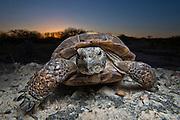 Portrait of a Texas Tortoise.