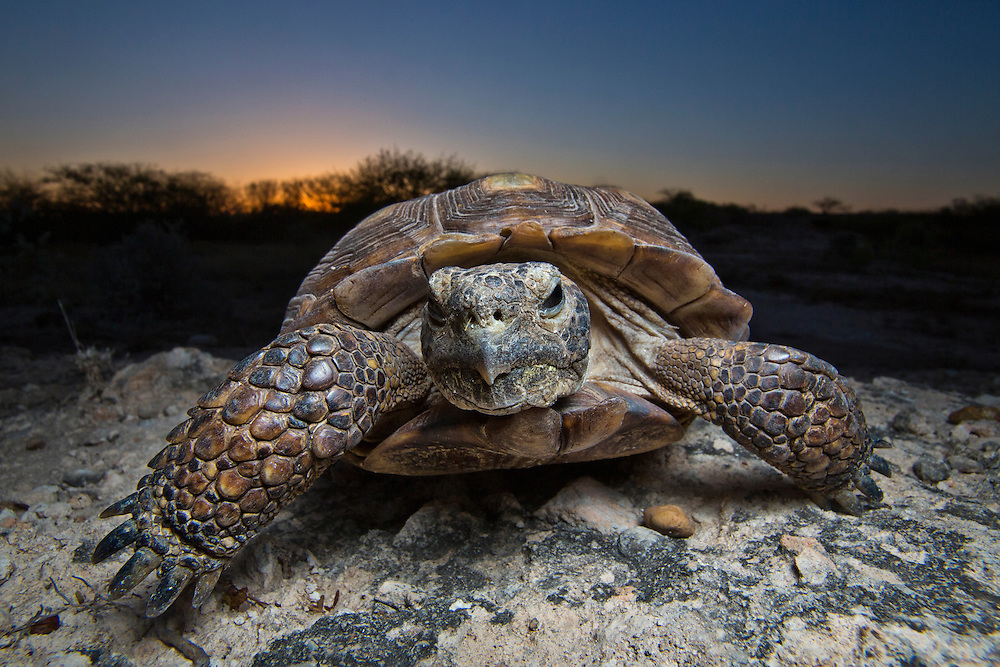 Portrait of a Texas Tortoise.