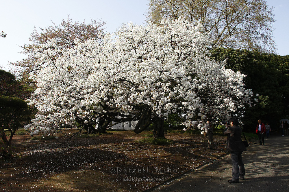 April 11, 2008; Tokyo, Japan - Cherry blossoms at Shinjuku Gyoen, Shinjuku...Photo credit: Darrell Miho