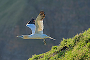 Northern Gannet - Morus bassanus taking off in flight from the cliff