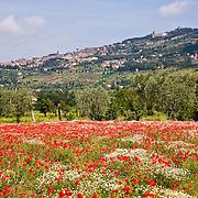 Field of red poppies and daisies, Cortona, Tuscany, Italy