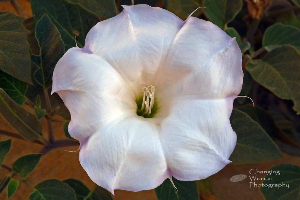 Datura in full bloom, white trumpet tipped with tinges of pale lavendar and petals glowing with soft reflected morning light; overhead image; green leaves in background; excellent specimen photograph